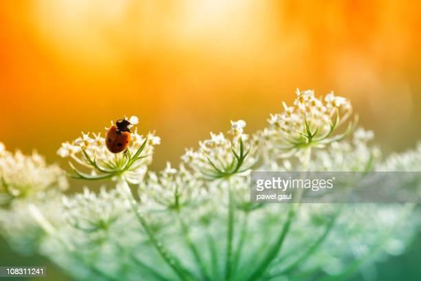 Ladybug sitting on top of wildflower during sunset