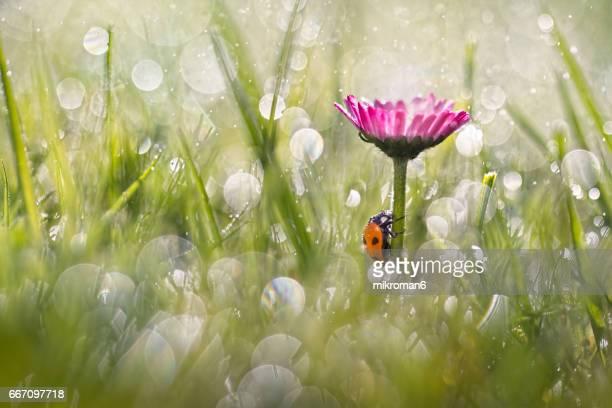 Ladybug under daisy flower