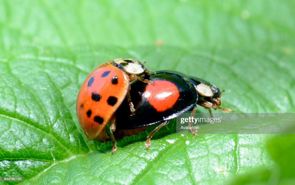 Lady bugs having sex