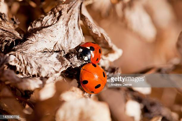 ladybugs hybernating - andrew dernie photos et images de collection
