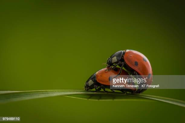ladybugs mating on grass blade - sex stock photos and pictures
