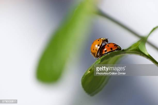 ladybugs mating - accouplement animal photos et images de collection