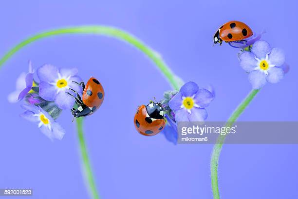 ladybugs on blue forget-me-nots - seven spot ladybird stock pictures, royalty-free photos & images