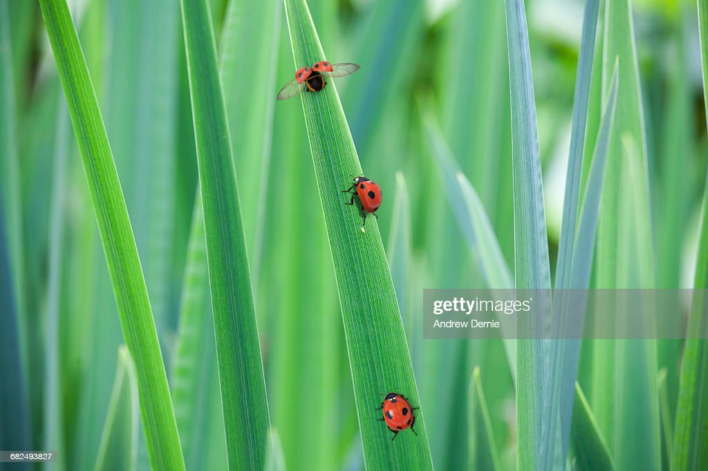 Ladybugs on grass : Stock Photo