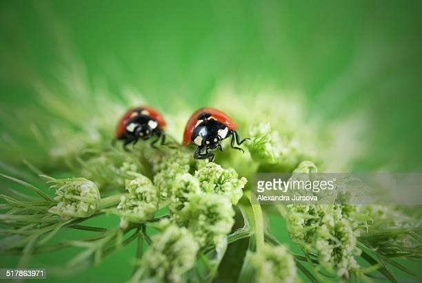 ladybugs - spotless nine spotted ladybug stock pictures, royalty-free photos & images