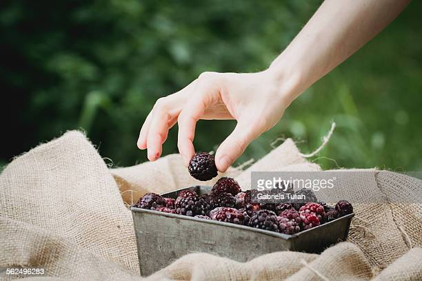 Lady's hand picking a blackberry