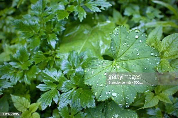 lady's mantle in the rain / green only - only men stockfoto's en -beelden