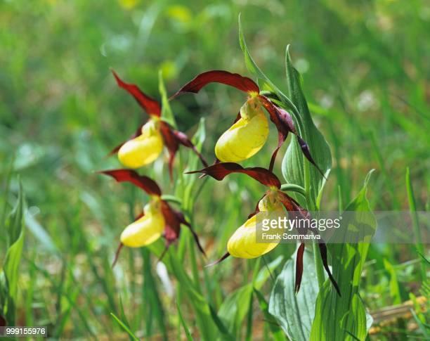 Lady's Slipper Orchid (Cypripedium calceolus), flowering, Wittersroda, Thuringia, Germany