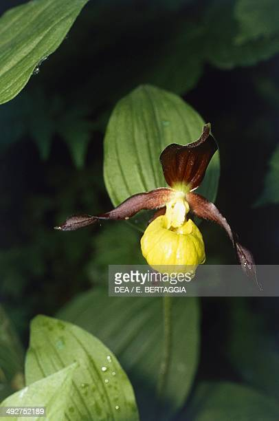 Lady's Slipper Orchid Orchidaceae
