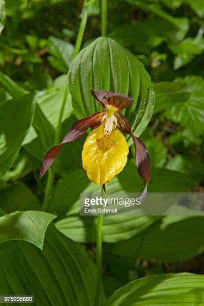 Lady's Slipper Orchid (Cypripedium calceolus)