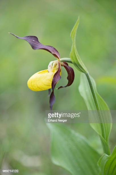 Lady's Slipper Orchid (Cypripedium calceolus), Rothenstein, Thuringia, Germany