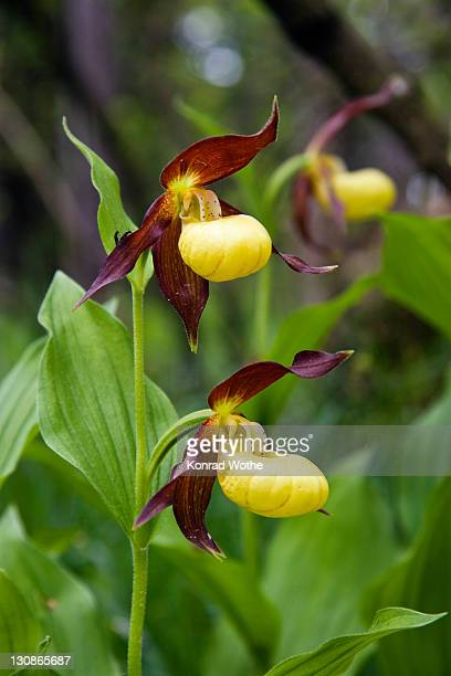 Lady's Slipper Orchid (Cypripedium calceolus), Upper Bavaria, Germany, Europe