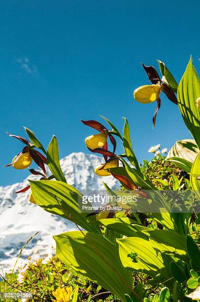 Lady's slipper orchids in the valley Lauterbrunnental Bernese Oberland Switzerland In the background the mountain Breithorn