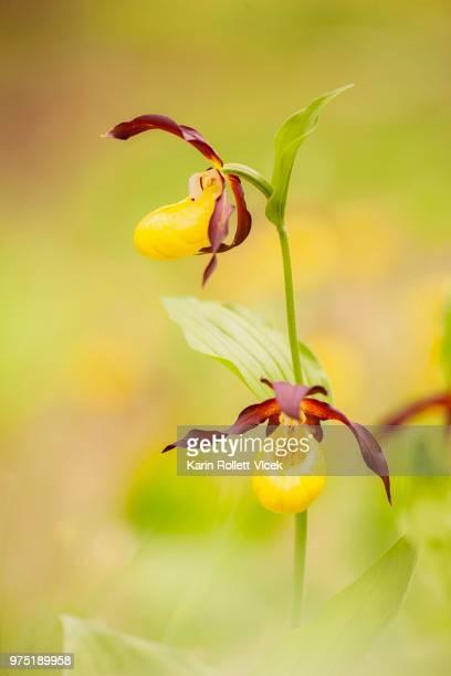 Lady's-slipper orchid (Cypripedium calceolus), Halltal, Tyrol, Austria