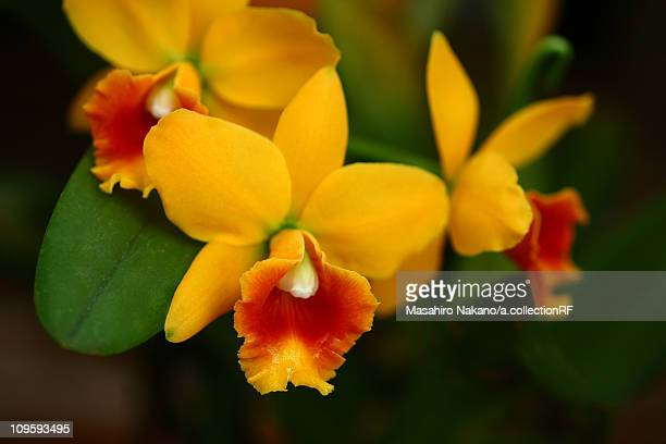 laelia flowers - chofu stock pictures, royalty-free photos & images