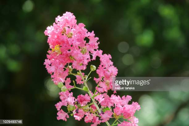 lagerstroemia indica - crepe myrtle tree stock pictures, royalty-free photos & images