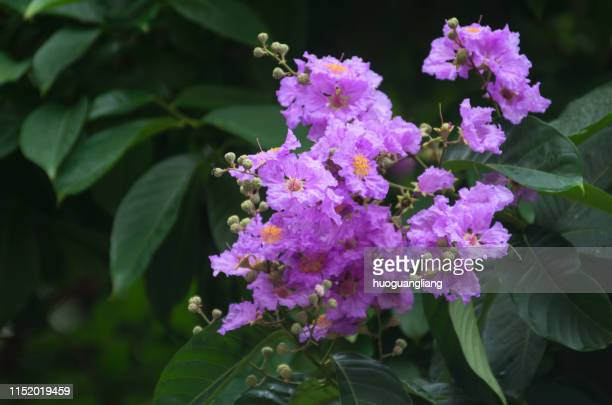 lagerstroemia macrophylla - crepe myrtle tree stock pictures, royalty-free photos & images