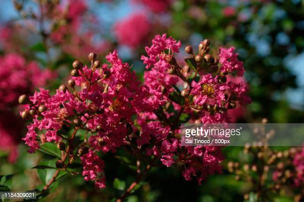 lagerstroemia - crepe myrtle tree stock pictures, royalty-free photos & images