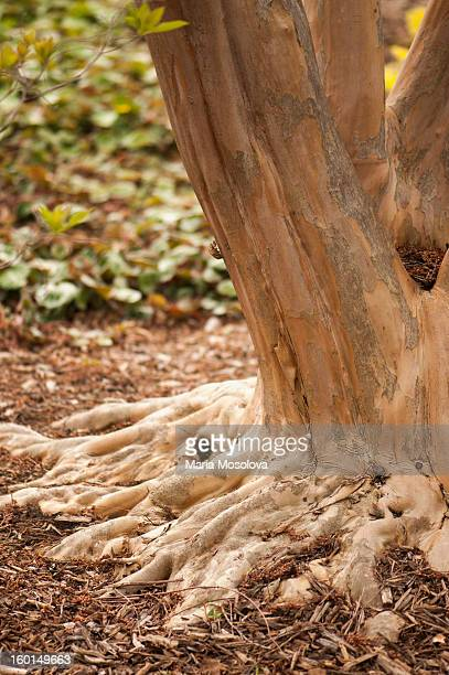 lagerstroemia 'tuskegee' tree trunk and roots - crepe myrtle tree stock pictures, royalty-free photos & images