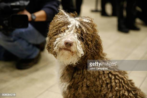 Lagotto Romagnolo breed named Nico is displayed during the 140th annual Westminster Kennel Club Dog Show meet the new breeds at Madison Square Garden...