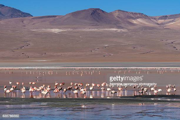 Laguna Colorada filled with flamingos, Reserva de Fauna Andina Eduardo Avaroa, Bolivia