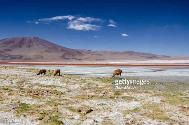 laguna colorada - cielo stock pictures, royalty-free photos & images