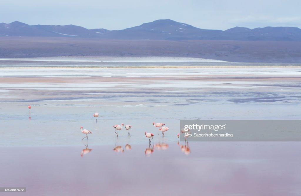 Laguna Colorada with flamingoes and mountain backdrop, Potosi, Bolivia, South America : Stock Photo