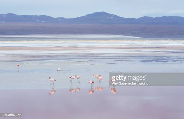 laguna colorada with flamingoes and mountain backdrop, potosi, bolivia, south america - alex saberi stock pictures, royalty-free photos & images