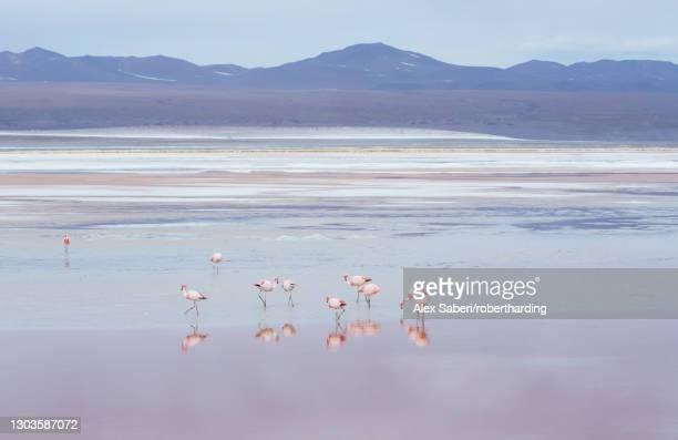 laguna colorada with flamingoes and mountain backdrop, potosi, bolivia, south america - alex saberi - fotografias e filmes do acervo