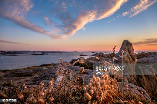 lagurus ovatus (hare's-tail grass or bunnytail), sunset at grandes rocques, saline bay, guernsey, channel islands - isola di guernsey foto e immagini stock