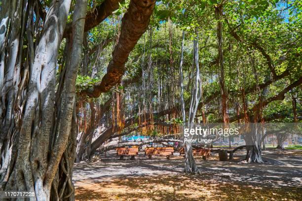 lahaina banyan tree public park,lahaina,maui,hawaii,usa - lahaina stock pictures, royalty-free photos & images