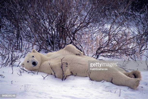 laid back bear - polar bear stock pictures, royalty-free photos & images