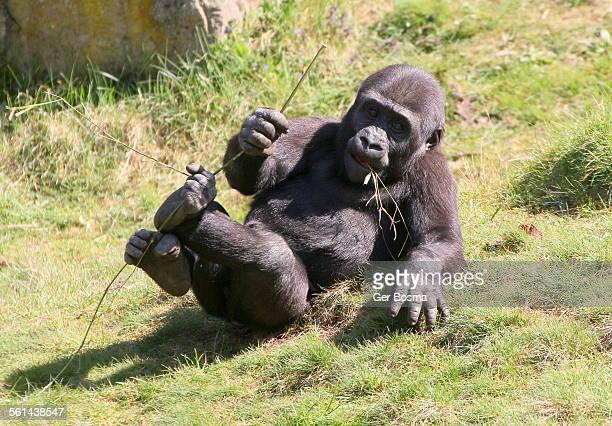 laidback gorilla - gorilla hand stock photos and pictures