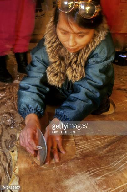 A l'aide de son oulou cette femme inuk decoupe dans une peau de phoque barbu les pieces de cuir qui serviront de semelles a la confection de kamik...