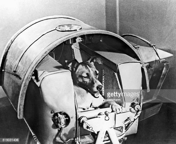 Laika the Russian space dog rests comfortably inside the Soviet satellite Sputnik II in preparation of becoming the first living creature to orbit...