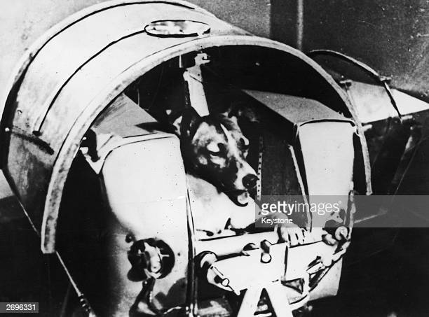 Laika the satellite dog in her specially designed contraption in Sputnik II before takeoff Her last meal was poisoned to prevent her dying a slow...