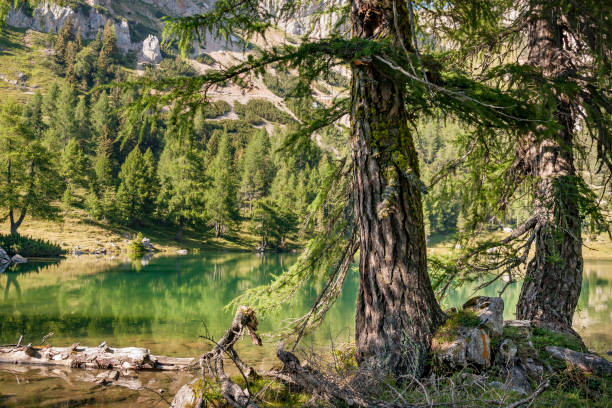 Lake Bordaglia and its ancient larches