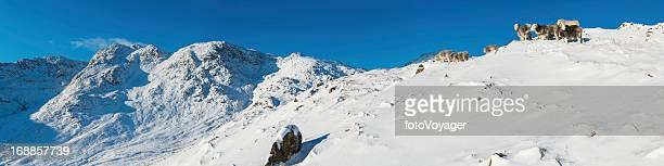 Lake District sheep in winter snow mountain panorama Cumbria UK