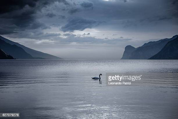 lake garda in italy - swan swimming into the lake - swan stock pictures, royalty-free photos & images