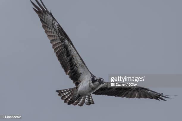 lake houston park - raubvogel stock-fotos und bilder