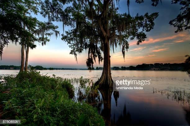 lake maitland sunrise - bald cypress tree stock pictures, royalty-free photos & images