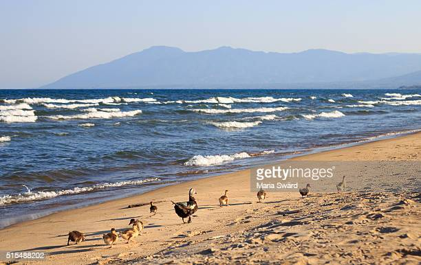 Lake Malawi - Ducks on Kande Beach
