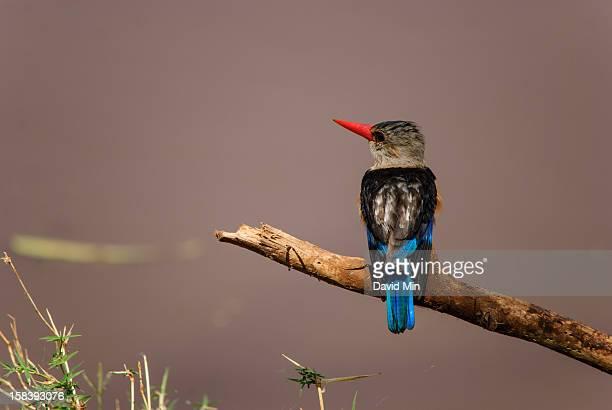 lake manyara, tanzania - male grey-headed kingfish - gray headed kingfisher stock pictures, royalty-free photos & images