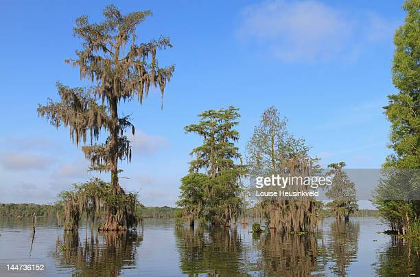 lake martin, louisiana, in spring - bald cypress tree stock photos and pictures