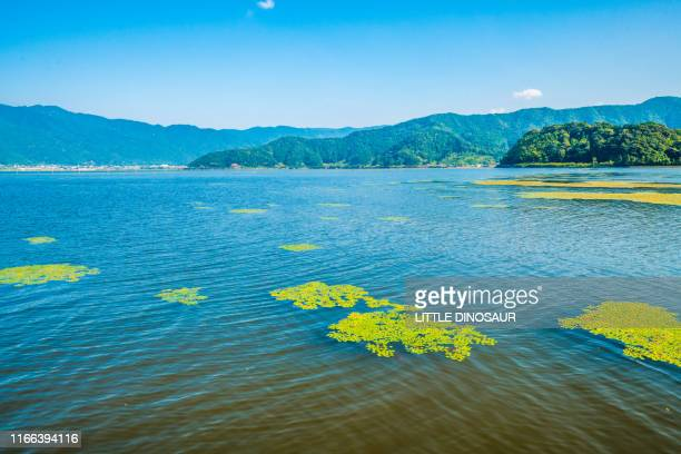 lake mikata. lake mikata. the colonies of water caltrop floats on the quiet water surface.  fukui japan - trapa stock pictures, royalty-free photos & images