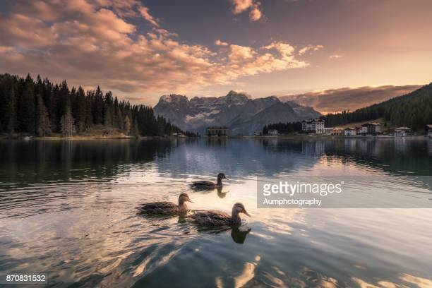 lake misurina - duck bird stock pictures, royalty-free photos & images