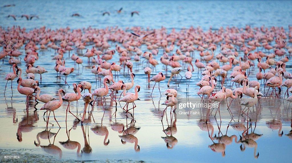 lake nakaru flamingoes : Foto de stock