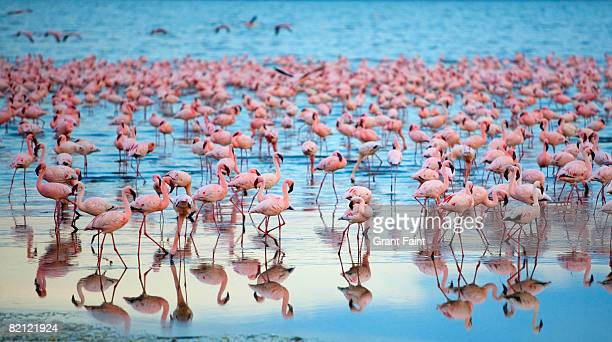lake nakaru flamingoes - lake nakuru stock photos and pictures