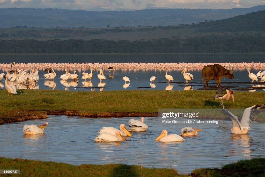 Lake Nakuru National Park, Kenya, East Africa, Africa : Stock Photo