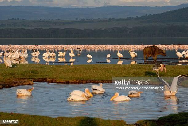 lake nakuru national park, kenya, east africa, africa - lake nakuru stock photos and pictures
